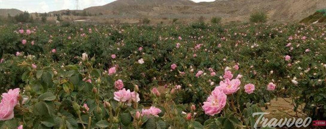 مزارع الورد