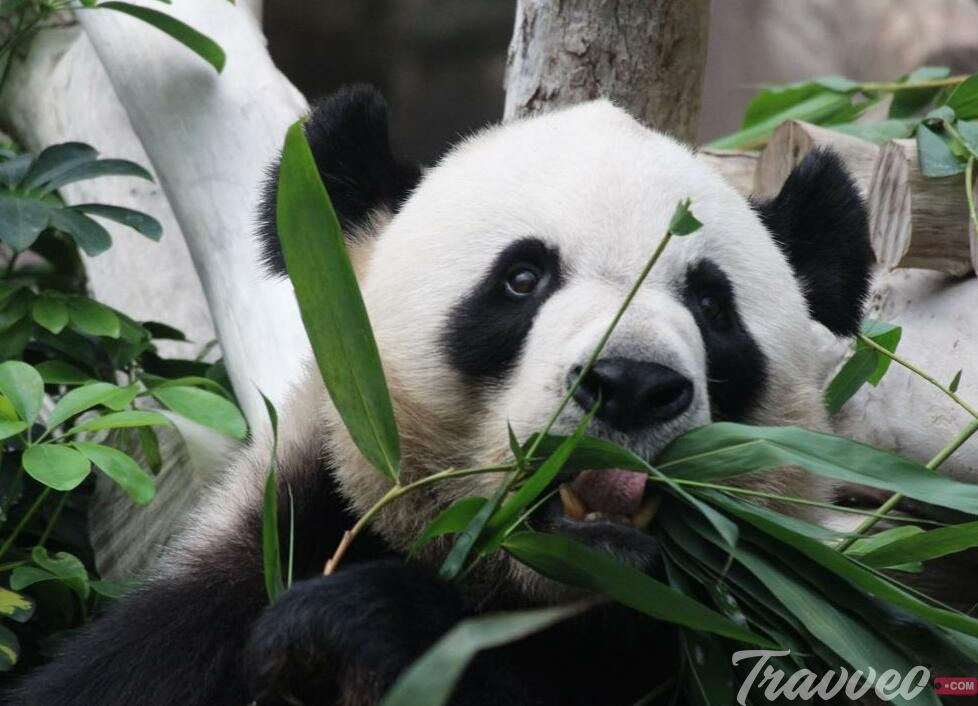 جناح الباندا العملاقة في ماكاو