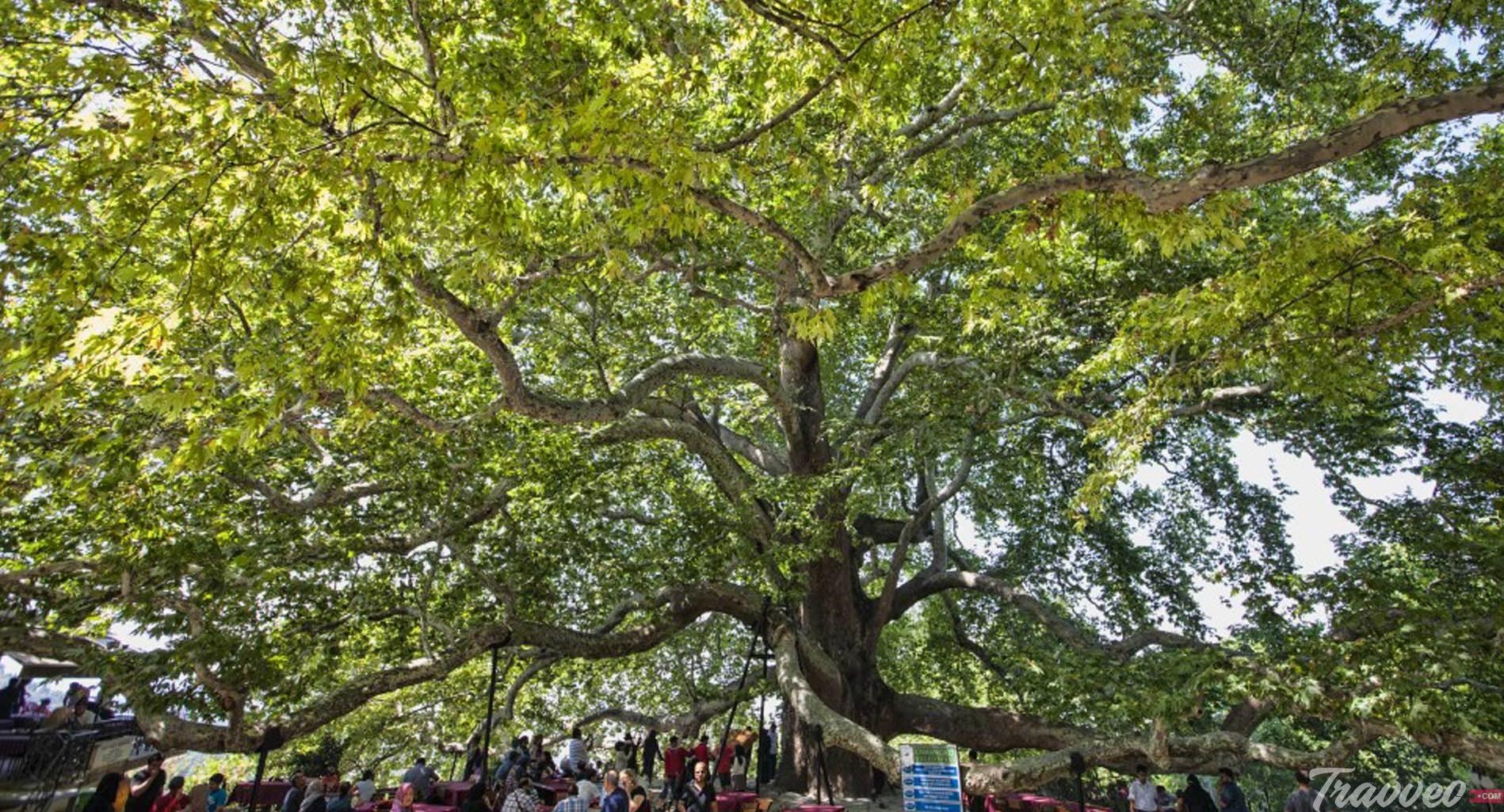 شجرة بورصة التاريخية