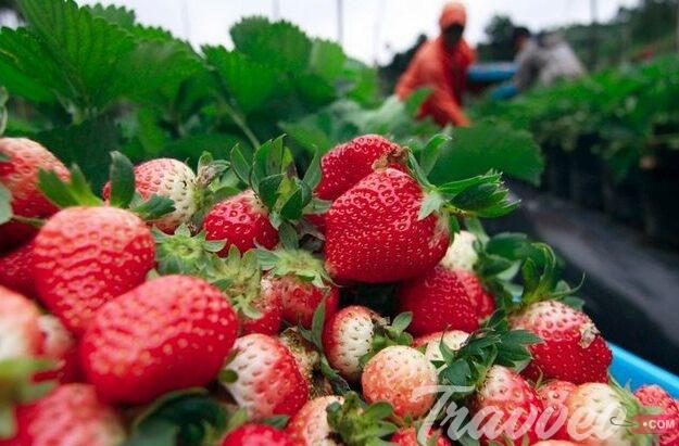 مزارع الفراولة