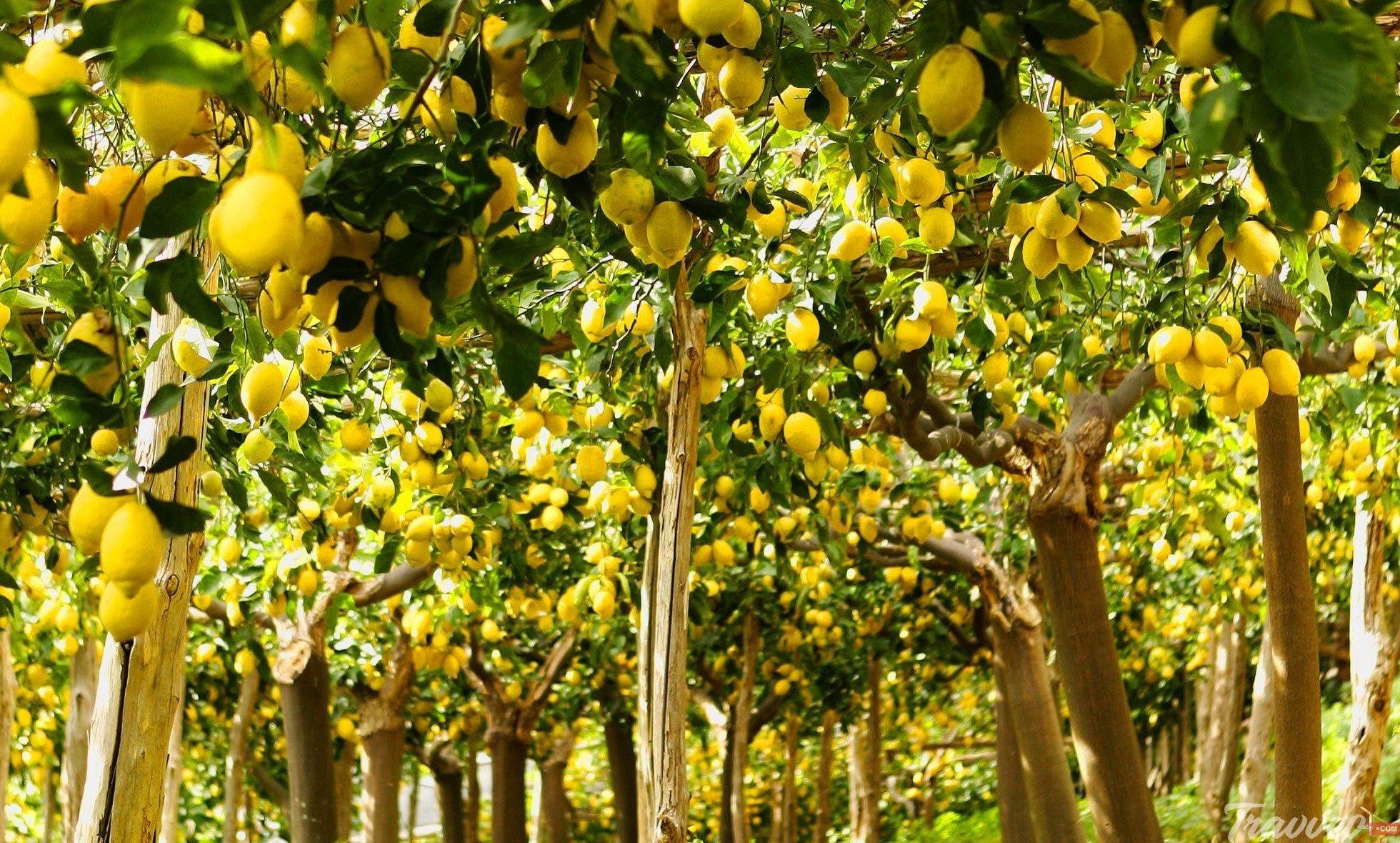بساتين الليمون