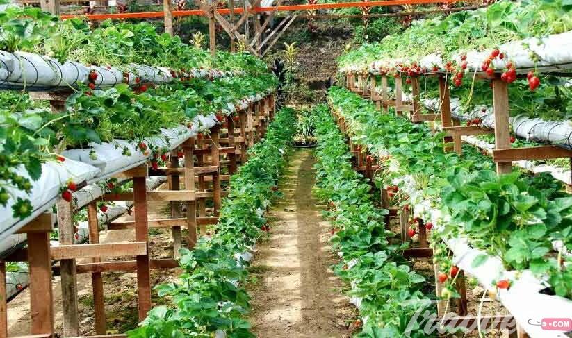 حدائق الفراولة